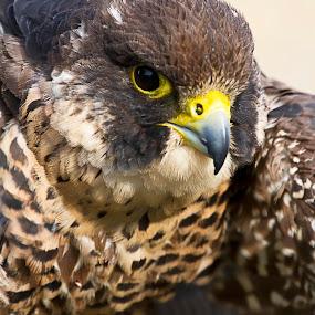 Kisa by Brandon Chapman - Animals Birds