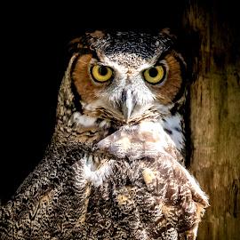 Great Horned Owl by Debbie Quick - Animals Birds ( raptor, debbie quick, owl, nature, florida, debs creative images, birds of prey, outdoors, bird, great horned owl, animal, wild, wildlife )