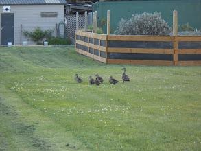 Photo: Y otra familia de patos en el jardín del hotel