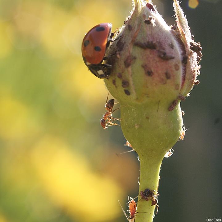Coccinelle dévorant des pucerons sur un bouton de rose.