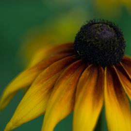 Gerber 2 by Sibi Sibi - Flowers Single Flower ( yellow, yellow flower, stamen, petals, flower,  )