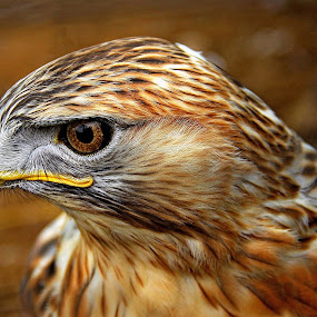 FALCON   by Muhammad Amin Zia - Animals Birds (  )