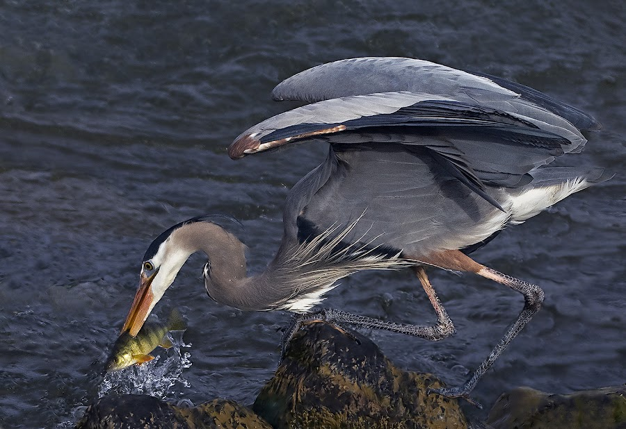 Great Blue Heron fishing by Shelley O'Connell - Animals Birds