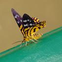 False Tiger Moth