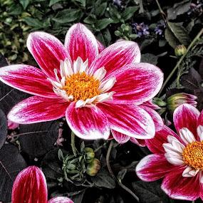 AYLI dahlia 81 18 by Michael Moore - Flowers Flower Gardens (  )