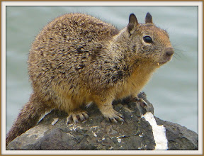 Photo: Thousands of these ground squirrels inhabit the water's edge at Cesar Chavez Park