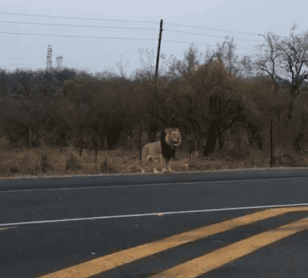 A lion spotted by motorists along the N4 near Marloth Park in Mpumalanga is thought to have escaped from the Kruger National Park.