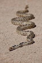 Photo: Gopher snake