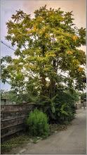 Photo: Cenușer (Ailanthus altissima) - de pe Str. Putna - 2017.08.27