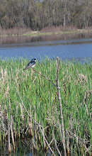 Photo: Tree Swallow 5.6