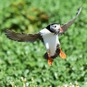 Landing of the Puffin by Sam's 1 Shot - Animals Birds ( nesting, farne island, fishing, atlantic, puffin, northern england )