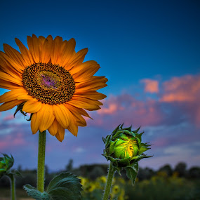 Sunflower Sunset by Brandon Montrone - Flowers Single Flower ( clouds, macro, sky, nature, sunflowers, sunset, sunflower, close up flower, flowers, close up, flower )