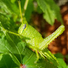 American bird grasshopper, (nymph)