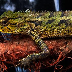 Kadal by Evan Septian - Animals Reptiles