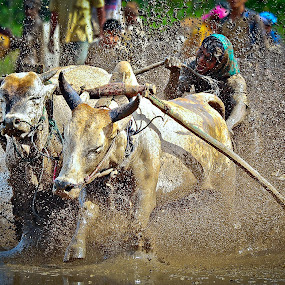 He Bits the Tail by Dian Anugrah - News & Events World Events ( mud, action, cow, sport, traditional, race, people, human )
