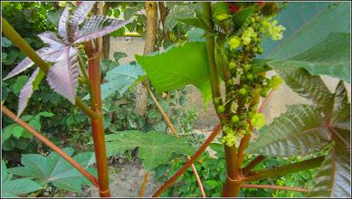 Photo: Ricin (Ricinus communis) din Turda, Str. Rapsodiei, Nr.3B - 2019.08.27