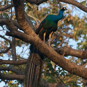 on the treetop by Harshit Bansal - Animals Birds ( bird, sitting, park, tree, peacock )