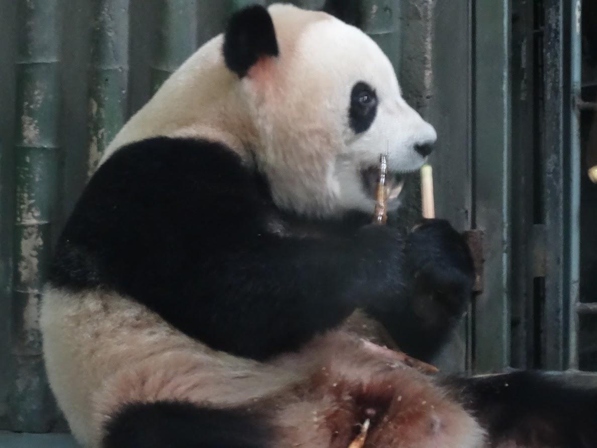 Panda géant à Shanghai