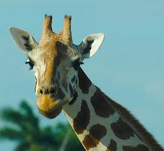 Photo: giraffe at safari, cuba. Tracey Eaton photo.