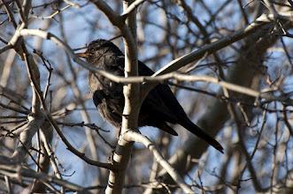 Photo: European Blackbird (Amsel); Radebeul, DE