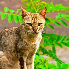 by Deepak Prabhu - Animals - Cats Portraits ( wild, cat, nature, animal )