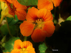 Photo: Nasturtium Tony Provenzano
