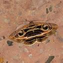 Indian Owlet Moth