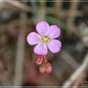 Drosera spathulata 寬苞茅膏菜