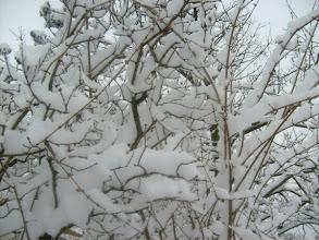 Photo: Orgonafa télen