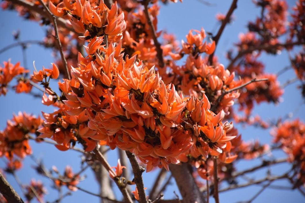 Palash Flowers, Pictures bu Sambit Mohanty @ Nisargshala