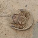Horse-shoe Crab