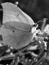 Photo: Le CITRON DE PROVENCE au bal masqué sirote au buffet le nectar d'une fleur. 1970.Lubéron (04).