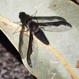 Black bee fly by Amanda Daly - Novices Only Macro