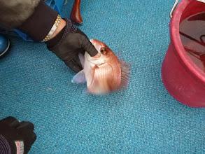 Photo: 開始一時間ですでに10匹の真鯛キャッチのイノウエさん!