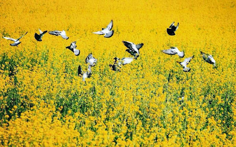 Campo giallo con volo d'uccelli di paolo-spagg