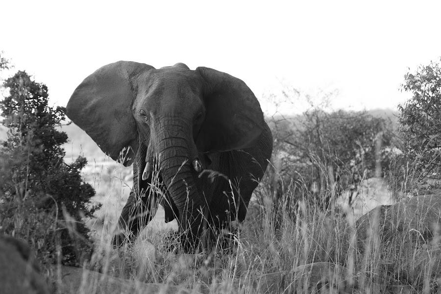 Elephant by VAM Photography - Animals Other Mammals ( nature, serengeti, elephant, tanzania, mammal, animal,  )
