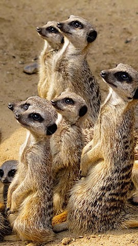 android Animals.Suricate.LiveWallpaper Screenshot 2