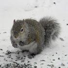 eastern grey/gray squirrel