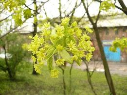 Klon pospolity kwiatostan Acer platanoides inflorescence