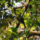 Blue-Throated Emerald Toucanet