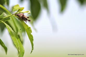 Photo: A May beetle