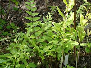 Photo: Cyrtomium Foetunei var.Clivicola