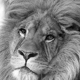Male Lion Portrait - Wingham by Fiona Etkin - Black & White Animals ( big cat, lion, nature, black and white, feline, portrait, mammal, animal,  )