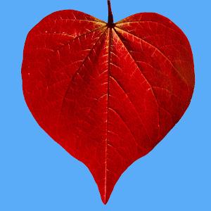 Redbud Leaf.jpg