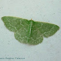 Southern Emerald Moth