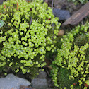 Common bladder-moss
