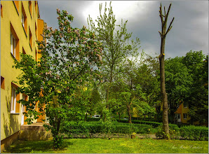 Photo: -  Liliac - (Syringa vulgaris)  - din Turda, Calea Victoriei, Nr. 11, 15 - 2019.05.03