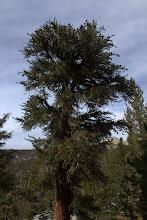 Photo: Bristlecone Pine