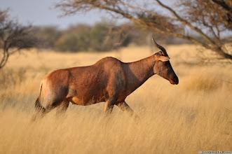 Photo: Tsessebe, Mokala National Park.
