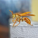 Common Paper Wasp